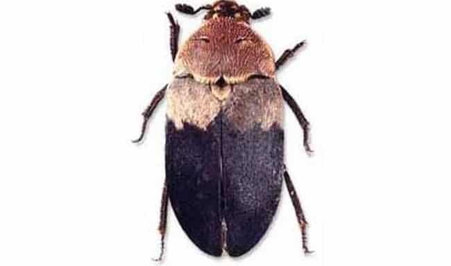 Uyuz böceği