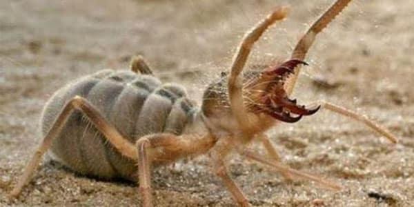 Sarı Kız Örümceği, Isırığı ve Zararları, İlaçlaması